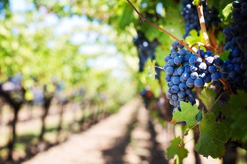 Gratis arkivbilde med druer, fiolett, frukt, gård