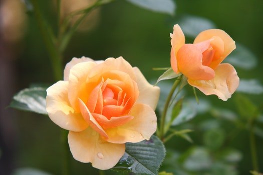 Orange Rose Flower in Bloom during Daytime