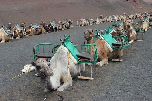 加那利群岛, 沙漠, 西班牙, 駱駝 的 免费素材照片