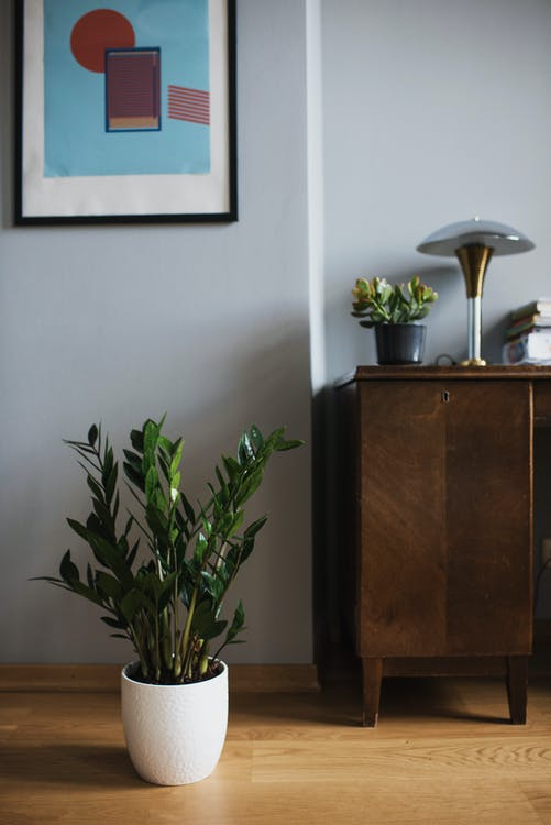 Indoor zanzibar gem plant (zz plant)