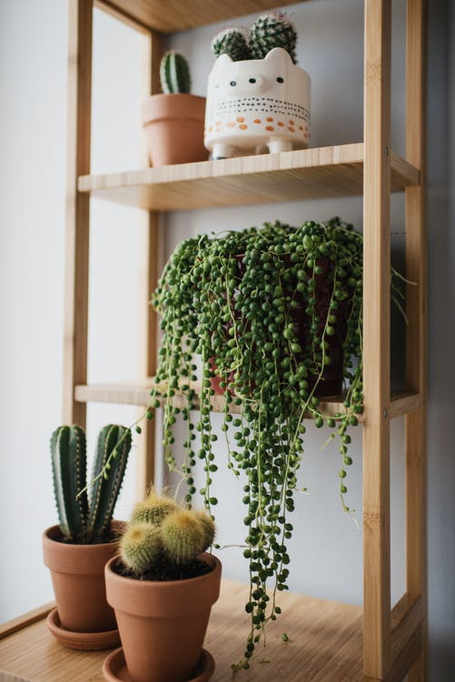 Cacti On Brown Wooden Shelves