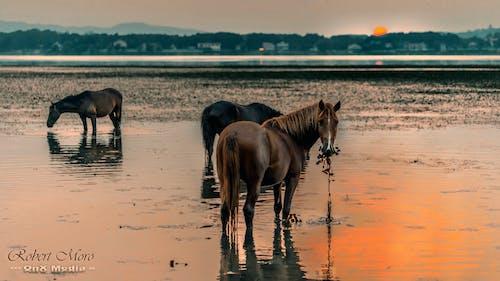 Free stock photo of animals, horse, sunset, wildlife