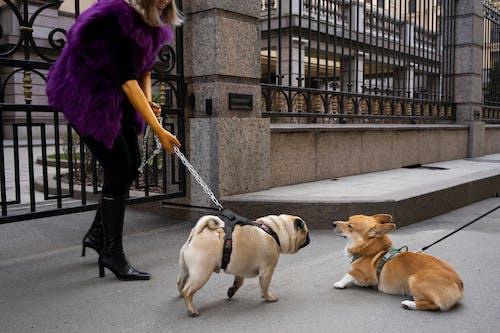 Woman In Purple Fur Vest Walking Her Dog