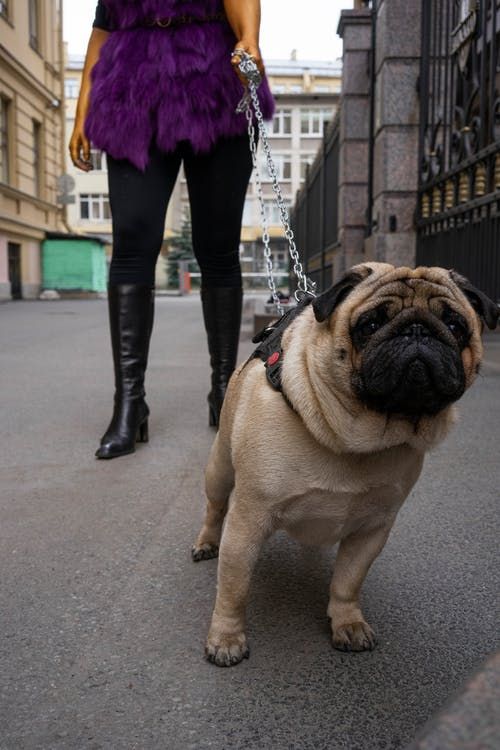 Fawn Pug With Chain Leash