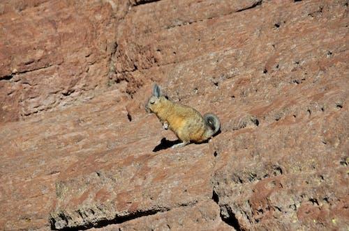 Free stock photo of animale selvatico, roditore, zona di montagna