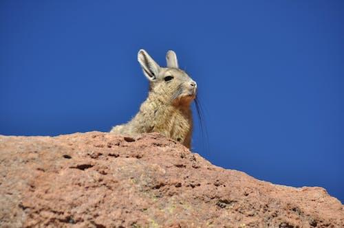 Free stock photo of animale selvatico, baffi, peloso