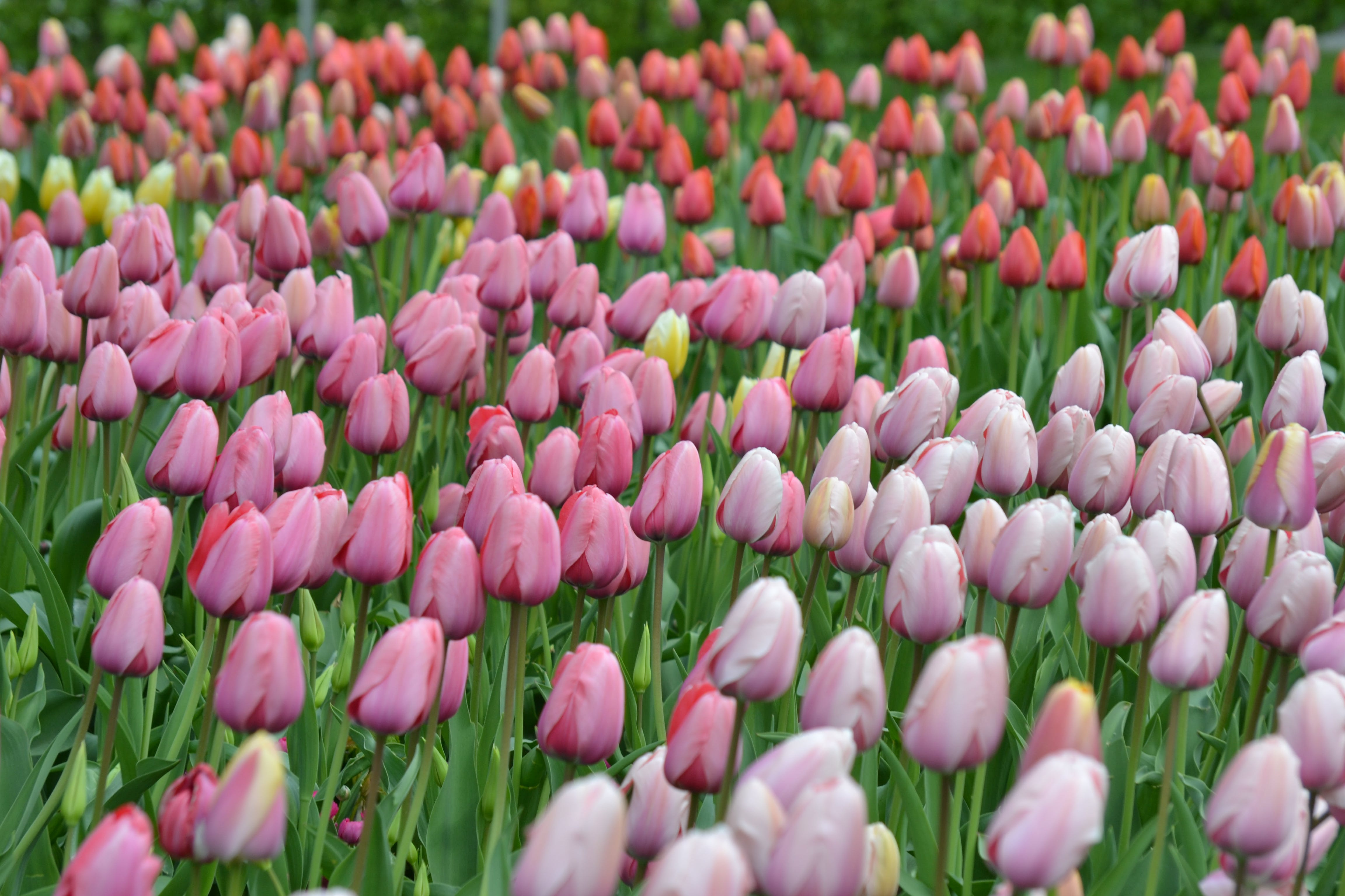 Bed of Tulip Flower