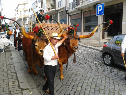 Free stock photo of animal, bul, cow, horns