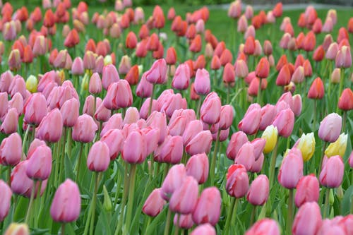 Pink and Red Tulips Flower Field