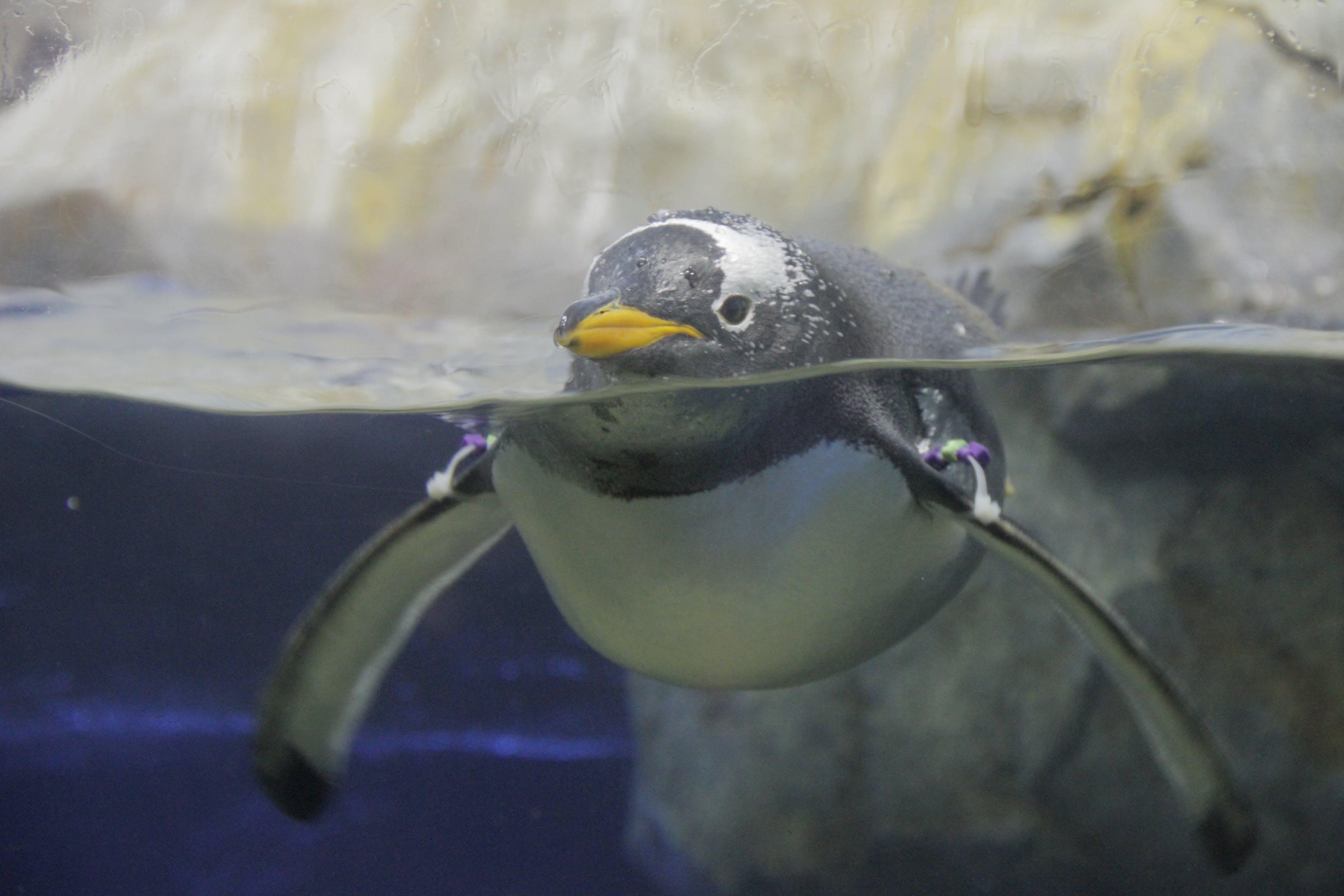 Free stock photo of aquarium, penguin, water