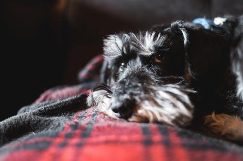 Black And White Miniature Schnauzer Puppy Lying