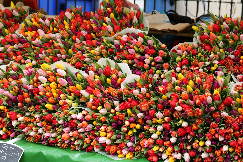 Free stock photo of beautiful flowers, tulips