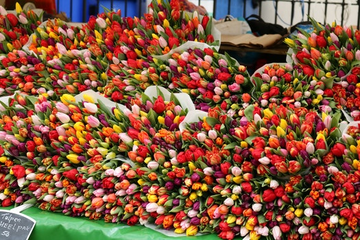 Free stock photo of tulips, beautiful flowers