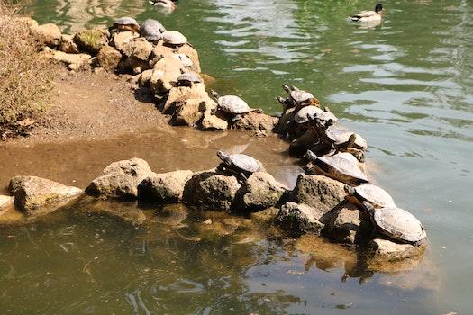 Free stock photo of turtles