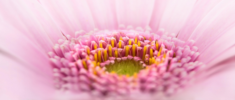 Macro Photography of Pink Gerbera Daisy Flower