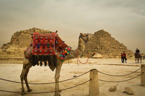 Immagine gratuita di animale, cammello, Cammello arabo, deserto