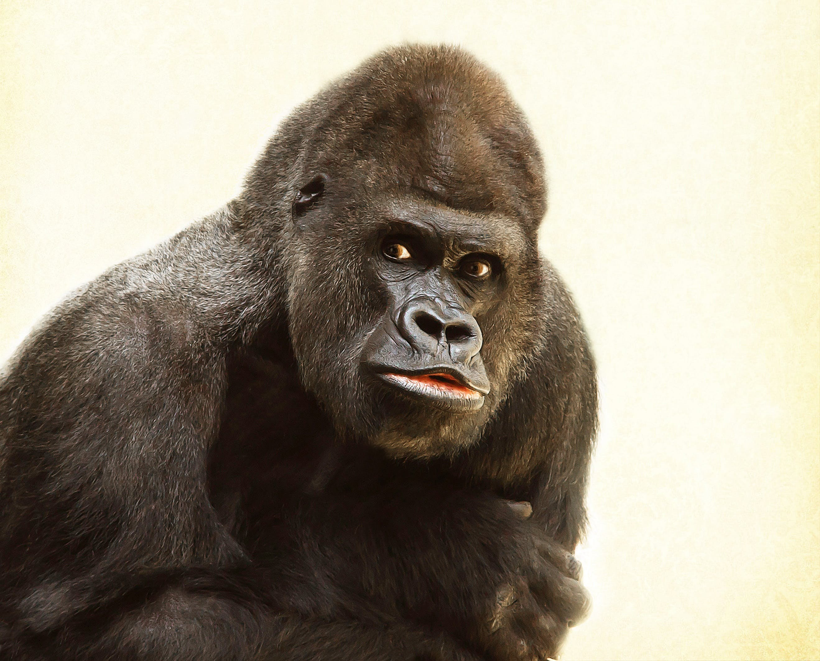 Black Gorilla in Close Up Photography