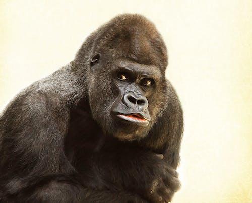 Foto profissional grátis de animal, bicho, desajeitado, gorila