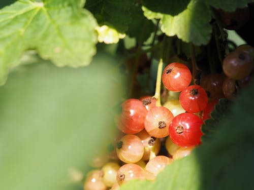 Free stock photo of currant, eating healthy, farmer
