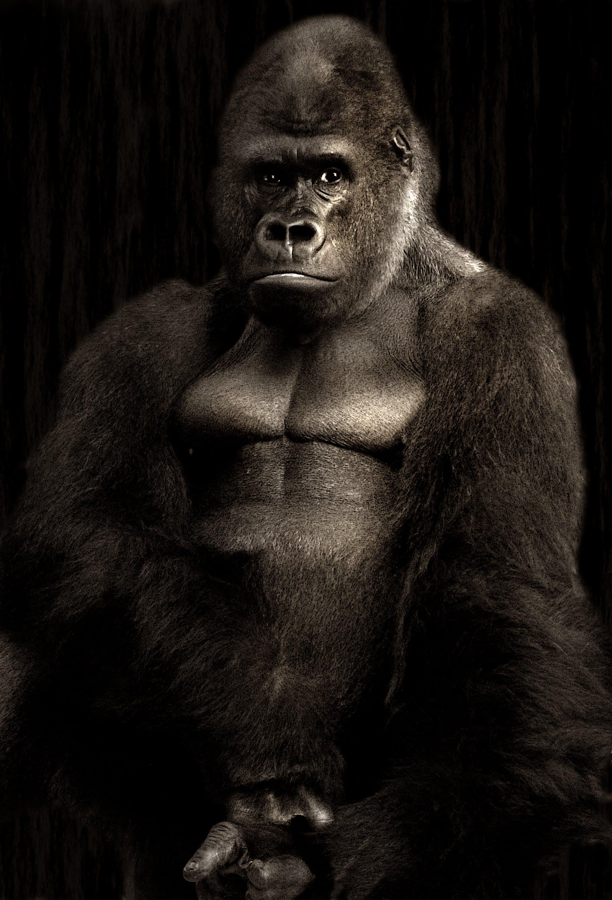 Kostenloses Stock Foto zu affe, behaart, gorilla, primas
