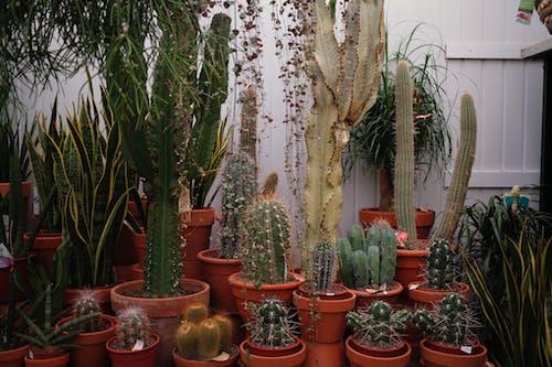 Foto profissional grátis de cacto, plantas, plantas de interior, plantas em vaso