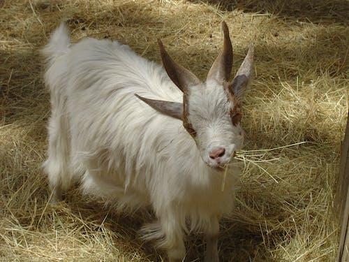 Free stock photo of domestic animal, domestic goat, eating, goat