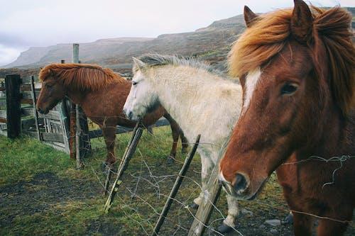 Free stock photo of cavallo islandese, horse, iceland, iceland horse