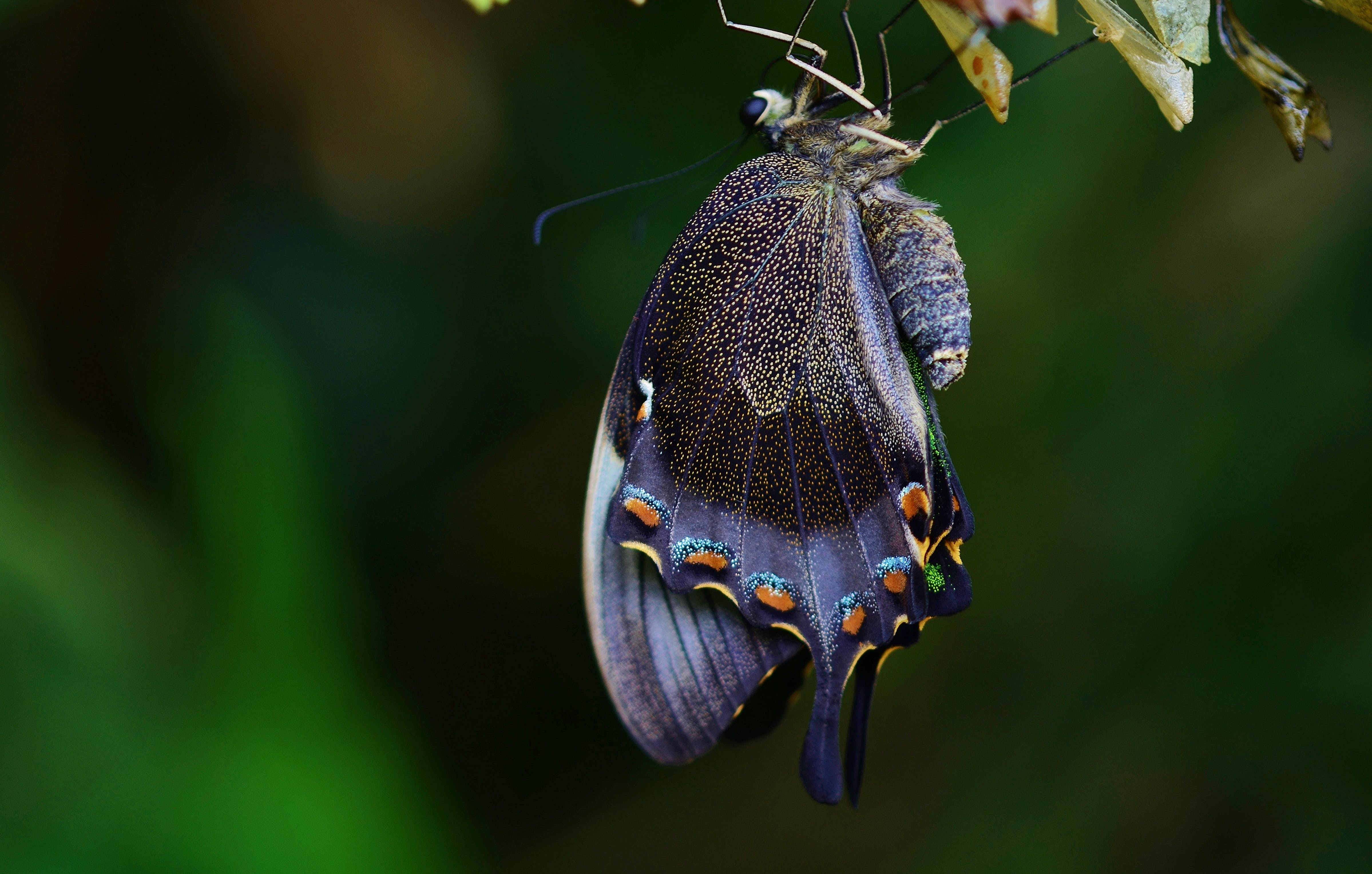 animal, butterfly, cocoon