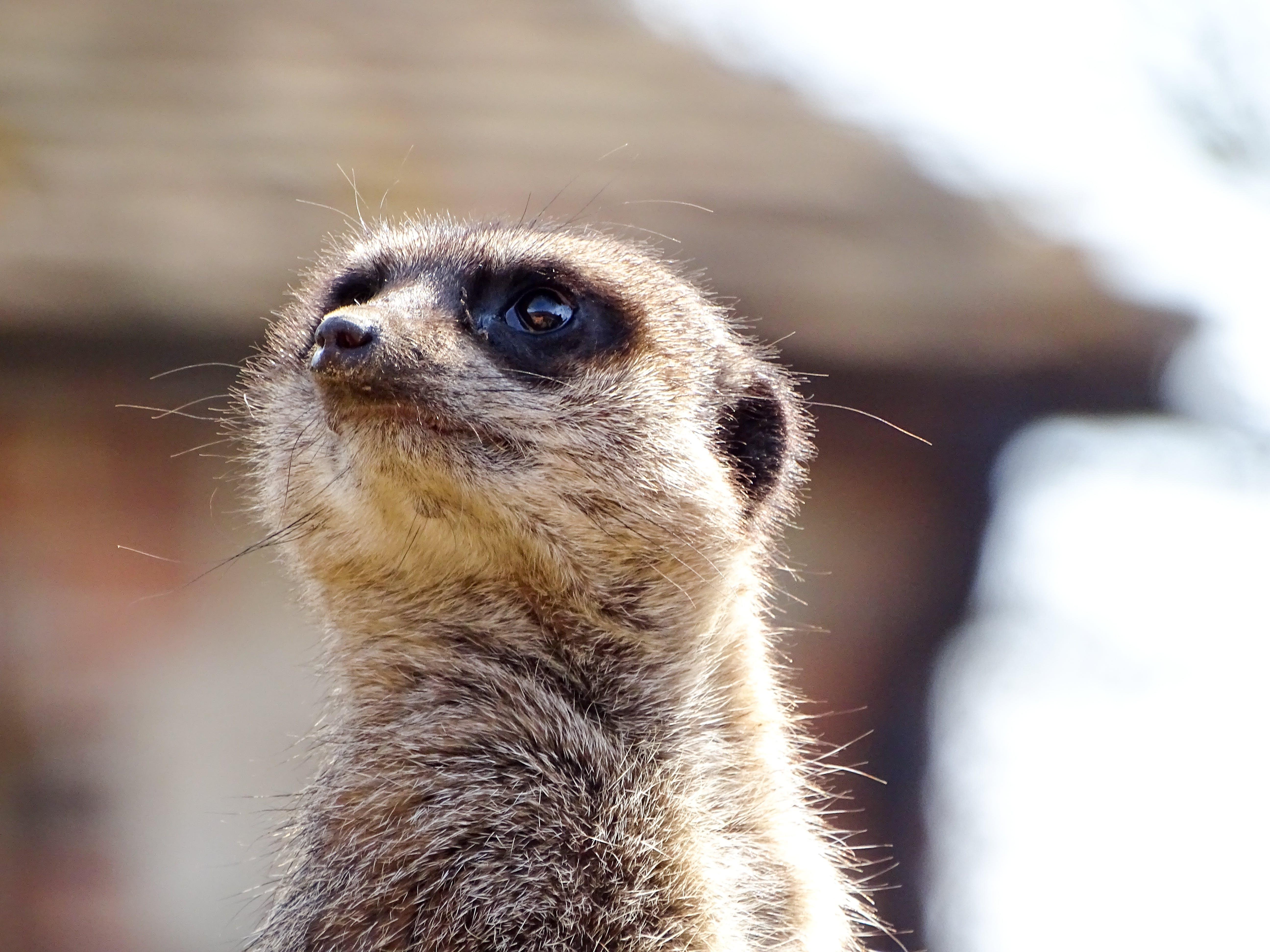 Základová fotografie zdarma na téma rozmazané pozadí, surikata, zoo, zvířata