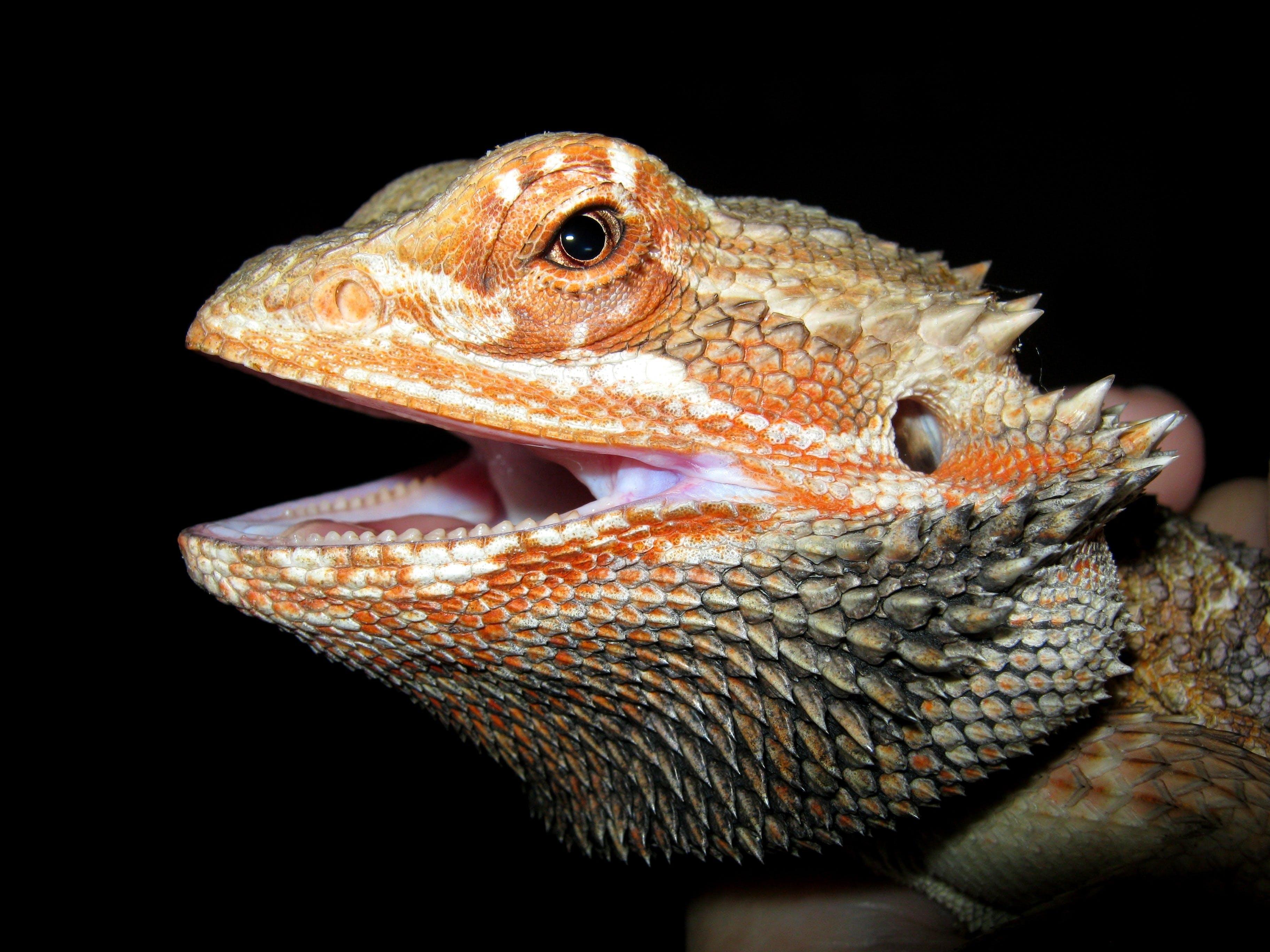 animal, bearded dragon, lizard