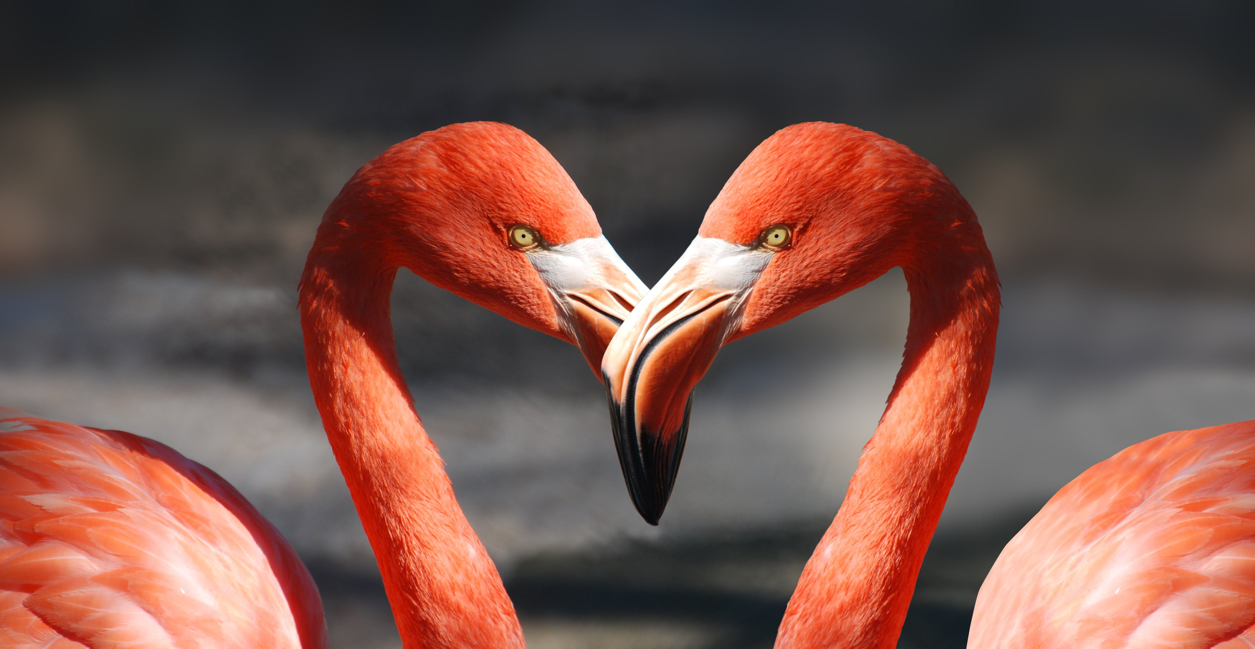 Two Red Flamingos