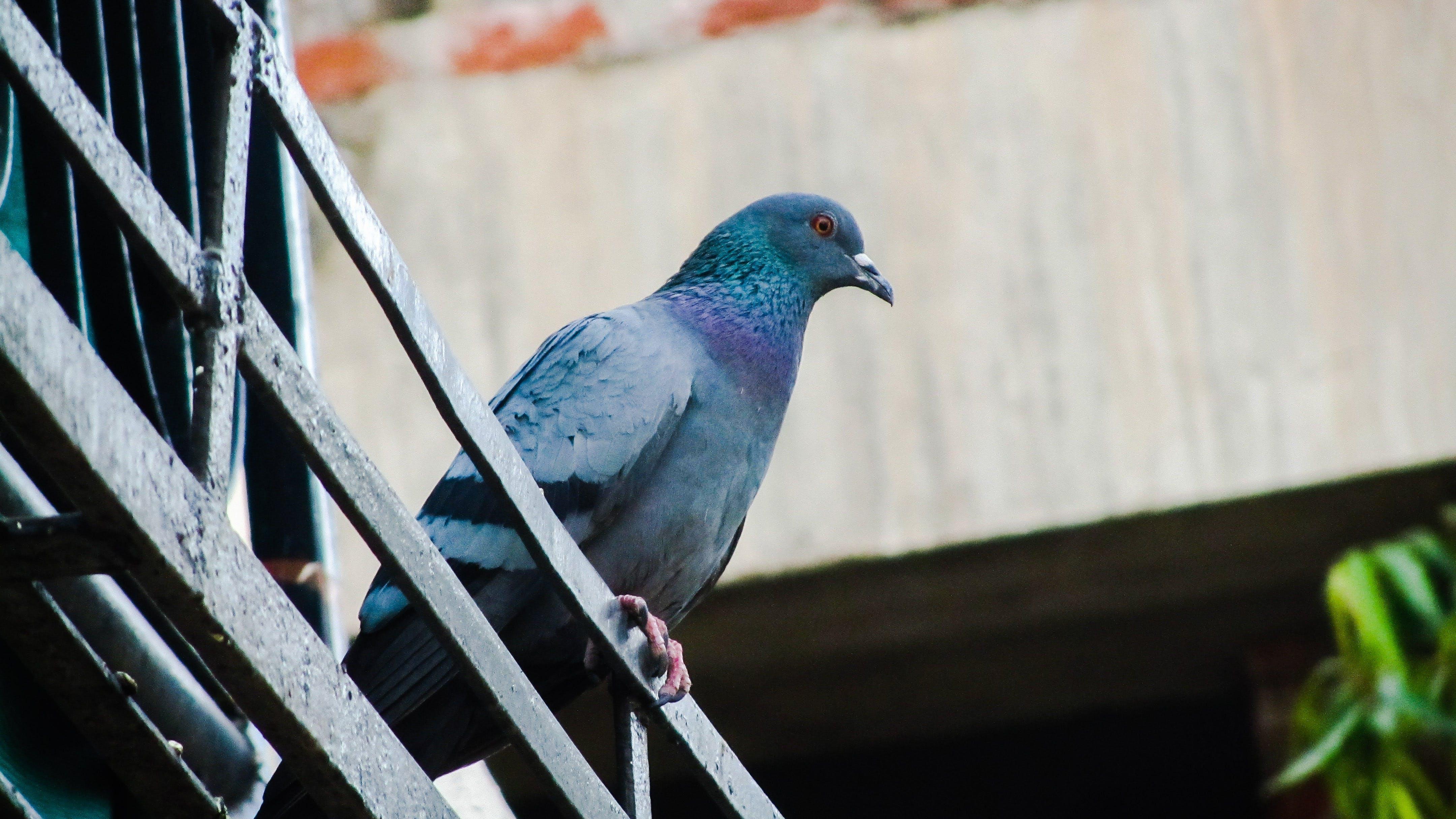 Blue Pigeon on Metal Rail