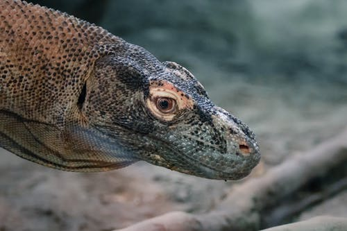 Close-up Shot Of A Big Lizard
