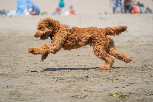 Free stock photo of beach, dog, goldendoodle