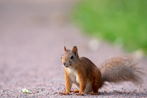 Brown Squirrel on Gray Ground