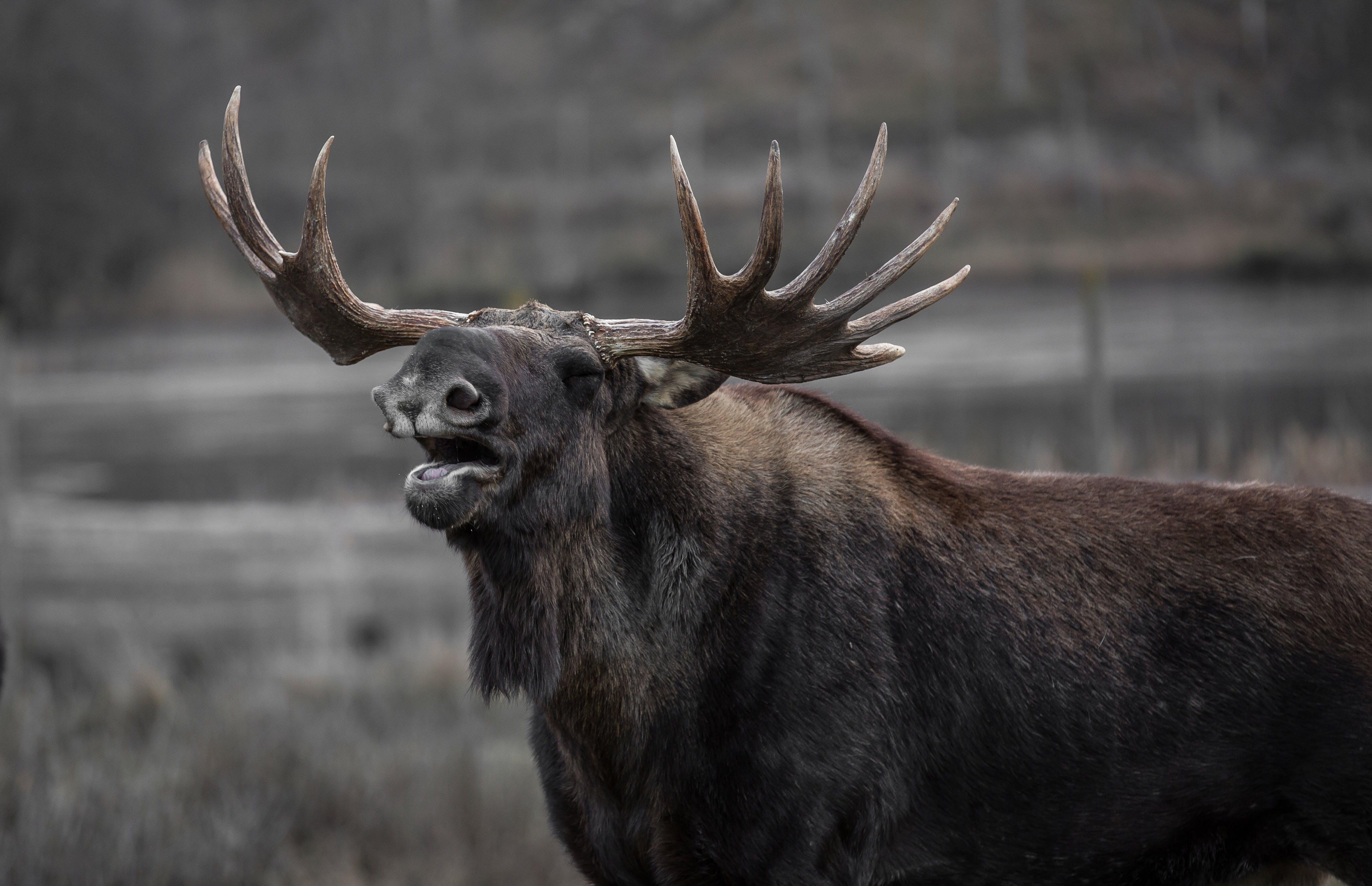 Brown Moose