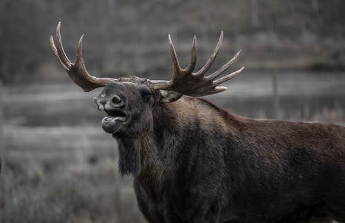 Základová fotografie zdarma na téma fotografování zvířat, los, zblízka, zvíře
