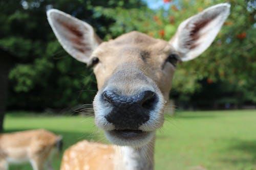 Základová fotografie zdarma na téma jelen, jeleň jelen, makro, nos