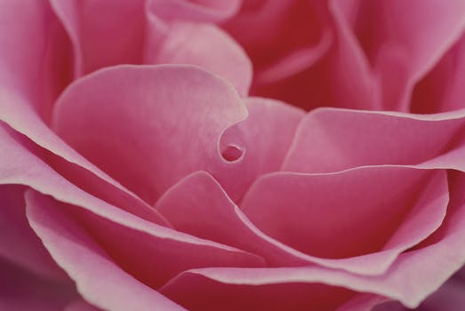 Pink flower free stock photo free stock photo of love romantic petals flower mightylinksfo