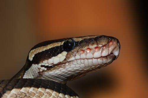 Základová fotografie zdarma na téma ballpyhton, exotický, had, konstriktor