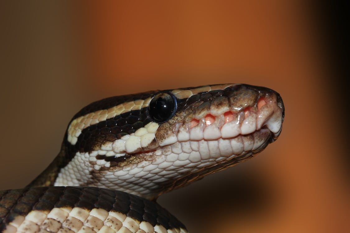 Brown and White Snake in Closeup Photo