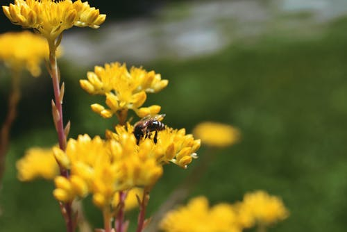 Black and Yellow Bee on Yellow Flowers