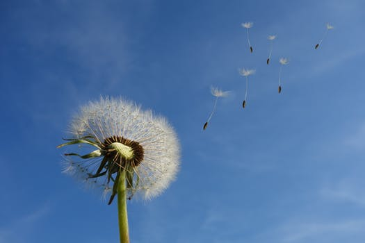 200 beautiful dandelion photos pexels free stock photos white dandelion under blue sky and white cloud white flower mightylinksfo
