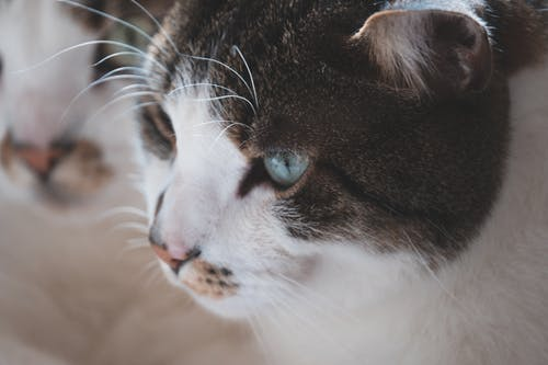 Black and White Cat in Close Up Photography