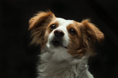 White and Brown Long Coat Small Dog