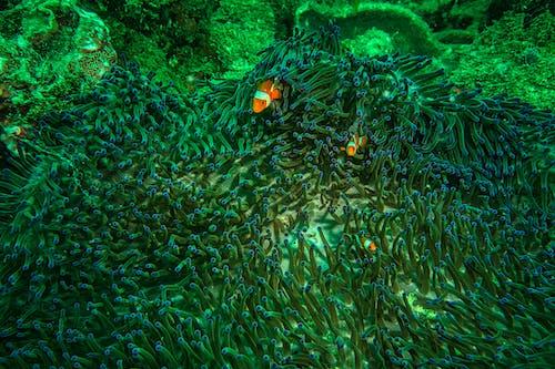 Orange And White Clownfish