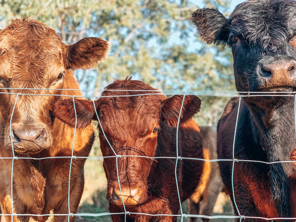 Brown and Black Cows in Behind the Fence
