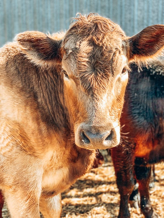 Brown Cow Close Up Photography