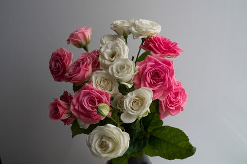 Pink and White Roses in Bloom