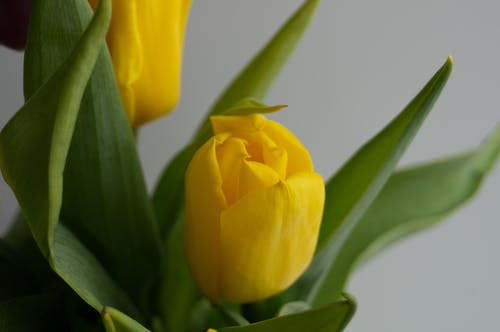 Yellow Tulips in Bloom